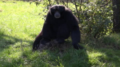 Siamang monkey sitting on sunny grass meadow Stock Footage