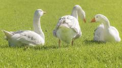 Group of White Geese Resting on the Grass - stock photo