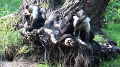 4k White-throated capuchin monkeys group with cute babies Stock Footage