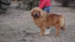 Tibetan Mastiff sits on hind legs Stock Footage