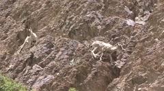 Blue Sheep herd feeding and walking in Himalaya 2 Stock Footage