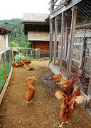 Chickens in Fenced Enclosure - stock photo