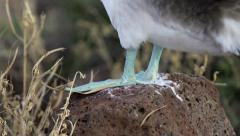 Blue Footed Booby Feet in Slow Motion Stock Footage