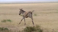 Baby Zebra Running Around Stock Footage