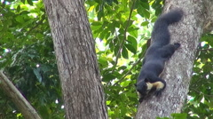 Giant Black Malayan Squirrel - Ratufa bicolor - stock footage