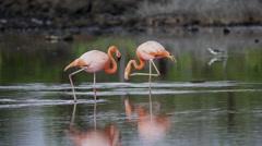 Two Flamingos Walking in Lake Stock Footage