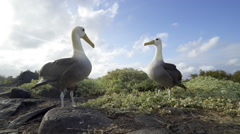 Albatross Fencing during Mating Ritual in Galapagos Stock Footage