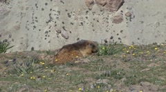 Himalayan Marmot feeding on flower. - stock footage