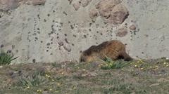 Himalayan Marmot grazing. Stock Footage