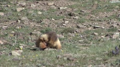 Himalayan Marmot scratching himself - stock footage