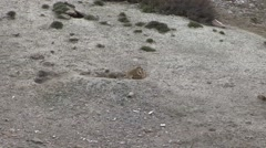 Himalayan Marmots play fighting. - stock footage