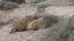 Himalayan Marmots play fighting 1 - stock footage
