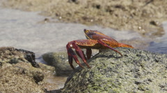 Close Up of Crab Walking over Rocks Stock Footage