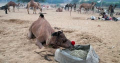 Camel Fair Pushkar, India. Stock Footage