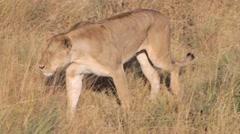 Lion walking through tall grass in Tanzania Stock Footage