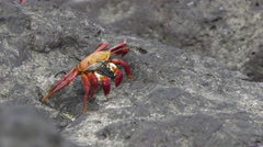 Large Crab walking on Rocks Stock Footage
