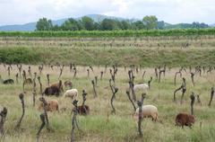 Stock Photo of Rows of Derelict Grape Vines with Sheep