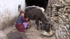 Karsha village life woman milking cow. Stock Footage