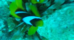 Clown Fish, Amphiprioninae, Red Sea water Egypt Stock Footage
