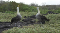 Wide Shot of Albatross Fencing Mating Ritual Stock Footage