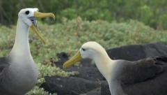 Albatross Mating Ritual Stock Footage