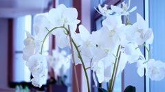 white orchid blooms - stock footage