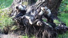 White-throated capuchin monkeys group with cute babies Stock Footage