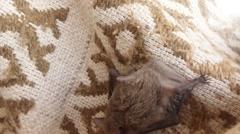 Small Bat Climbs on a Braided Cloak House on The Island Dzharylgach - stock footage
