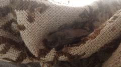 Little Bat Climbs on a Braided Cloak House on The Island Dzharylgach - stock footage