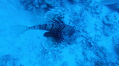Red Lion fish, Pterois volitans, in deep Red Sea water Egypt Stock Footage