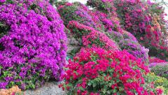 Bougainvilleas in Honolulu at Punchbowl Cemetery Stock Footage