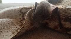 Small Bat Climbs on a Wicker Cloak House on The Island Dzharylgach - stock footage
