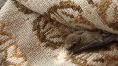 Small Bat Climbs on a Thin Wicker Cloak House on The Island Dzharylgach - stock footage
