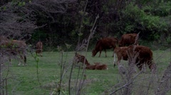 The cattle Stock Footage