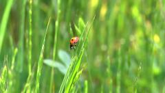 A ladybug climbs on a tall blade of grass in a sunny field. - stock footage
