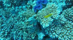 Blue Giant clam closing in clear Red Sea water Egypt Stock Footage