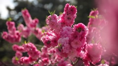Peach blossom,A group of lens  - stock footage