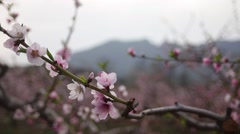 Peach blossom,A group of lens Stock Footage