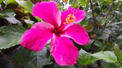 Pink hibiscus flower Stock Footage