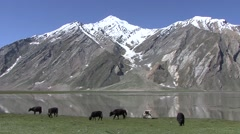 Yaks grazing below snow capped mountains Stock Footage