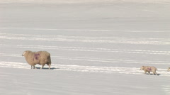 Lamb follows sheep in cold winter snow Stock Footage