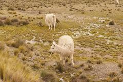 Wild Alpacas Stock Photos