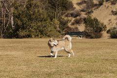 Husky dog mix - stock photo