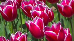 Blooming Beautiful Crimson Tulips Stock Footage