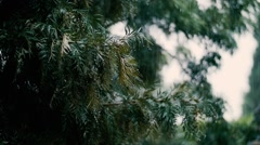 Fir tree branches during rain Stock Footage