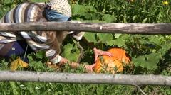 Peasant woman girl growing pumpkin vegetable plants for Halloween day. 4K Stock Footage