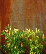 Chilli Plants Against Rusted Metal Door Stock Photos