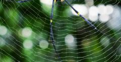 Spider's net and creepy long legs of big tropical spider in rainforest of Asia - stock footage