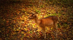 Young red deer (Cervus elaphus) Stock Footage