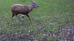 Sitatunga or marshbuck (Tragelaphus spekii) Stock Footage